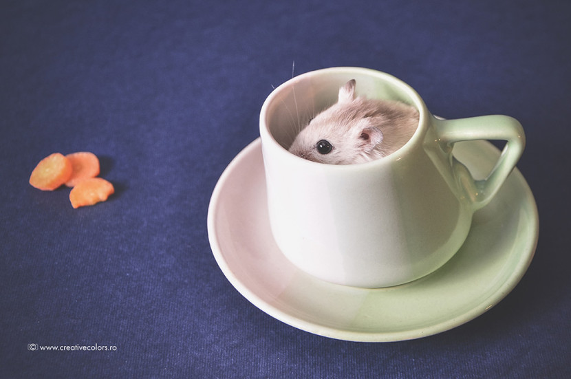Studio-Foto-Constanta-hamster-(0)